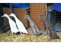 Indian Runners For Sale
