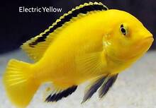 Electric Yellows....nice, bright African Cichlids (+20 others) Ormeau Gold Coast North Preview