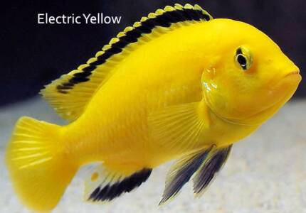 Electric Yellows - top quality fry for sale!