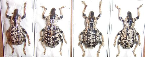Rhytidophloeus rothschildi A Beautiful Big Size Weevil From Madagascar 6 Lot