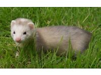 Sandy-silver 10 week old male ferret