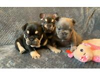 Quality French Bulldogs For Adoption