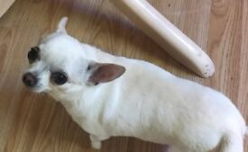 **FREE** FEMALE CHIHUAHUA-NEEDS REHOMED!!!