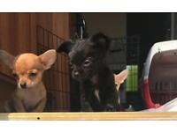 Full chihuahua puppies only 2 girls left