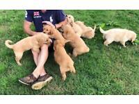 Dogs for sale in Devon - Gumtree