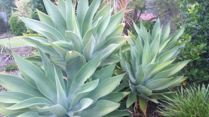 Agave Plants -Various sizes