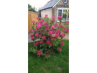 Large Potted Rhododendron, has crimson flowers in spring