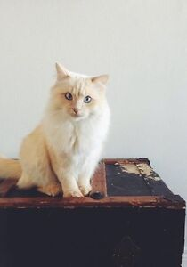 URGENT in need of a home for my ragdoll kitty
