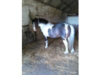 13.2hh Cob Mare age 7 years