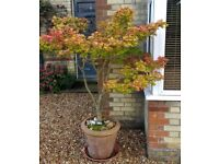 12 year old Japanese Maple, fantastic autumn colours