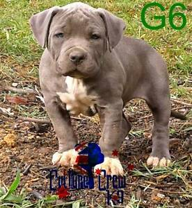 PEDIGREE PAPERED American Staffordshire Terriers / staffy puppy Noosa Heads Noosa Area Preview