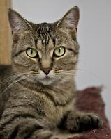 "Adult Female Cat - Tabby - Brown: ""Rosemary"""