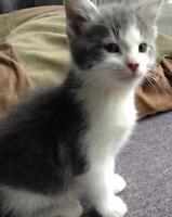 "Baby Male Cat - Domestic Short Hair - gray and white: ""Ricky"""