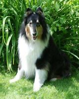 "Adult Female Dog - Collie: ""Betty"""