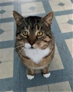 Adult Male  - Domestic Short Hair-Tabby (Brown)