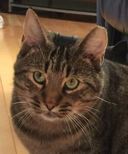 Handsome male tabby - rescued - needs a good home
