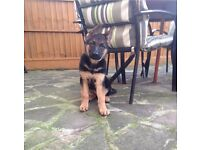 German Shepherd Dod Puppy - Female, 11 weeks old.