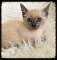 Adorable Tiny Blue Point Siamese Boy w/ Shots - Will Deliver