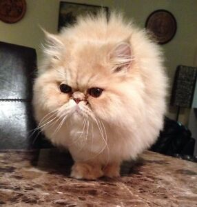 Doll Face Persian cat for sale