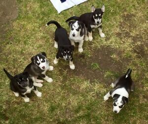husky/malamute puppies for sale