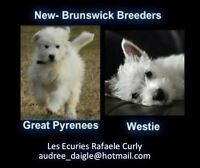 Great Pyrenees And Westies breeder's