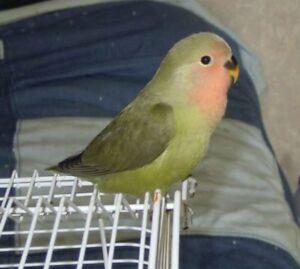 Cute lovebird for sale