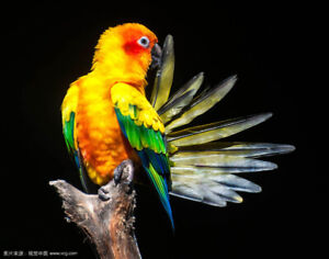 Looking for a Male Sun Conure