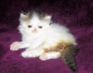 Purebred Persian Tabby & White van male for sale as pet.