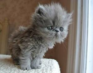 Looking to Buy or Swap Persian/Exotic Kitten for Persian Kitten. Raymond Terrace Port Stephens Area Preview