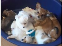 7 beautiful chihuahua puppies for sale
