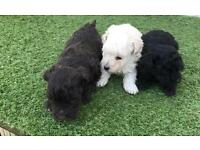 Pedigree toy poodles