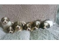Cavazoo puppys