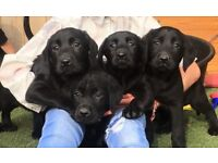 Labrador puppies 50 Champions