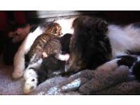 Black/White and Tabby Kittens in SE London zone 2
