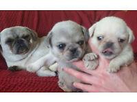 Beautiful pug puppies-fawn,apricot,white/chinchilla