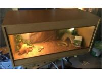 Baby bearded dragon and vivarium setup