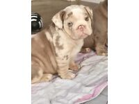 White and Lilac merle female English Bulldog puppy. Ready to leave