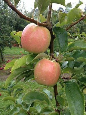 sold out collection   Pink Lady Cripps Pink Apple Tree pot