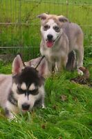 Diverse family oriented Alaskan Husky pups-blue eyes and gold ey