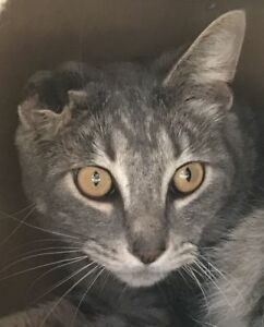 "Young Male Cat - Tabby: ""Raymond"""