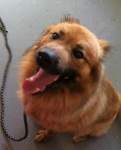 "Young Male Dog - German Shepherd Dog-Chow Chow: ""12245"""