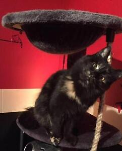 """Adult Female Cat - Domestic Short Hair: """"Maggy"""" West Island Greater Montréal image 2"""