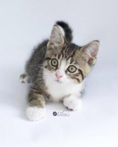 """Baby Female Cat - Domestic Short Hair: """"Trixie"""""""
