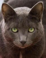"Young Female Cat - Russian Blue: ""Erin"""