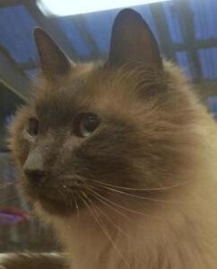 "Adult Male Cat - Siamese: ""Alexander"""