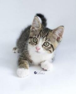 "Baby Female Cat - Domestic Short Hair: ""Trixie"""
