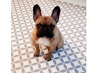 Tiny French bulldog boy - 1 year old