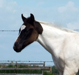 Black Tobiano APHA Colt English or Western, he can do it all!