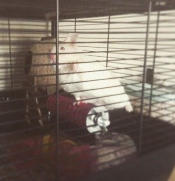 White and light brown | Syrian hamster