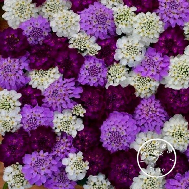100 Pcs Seeds Iberis Evergreen Brilliant Flowers Garden Decoration